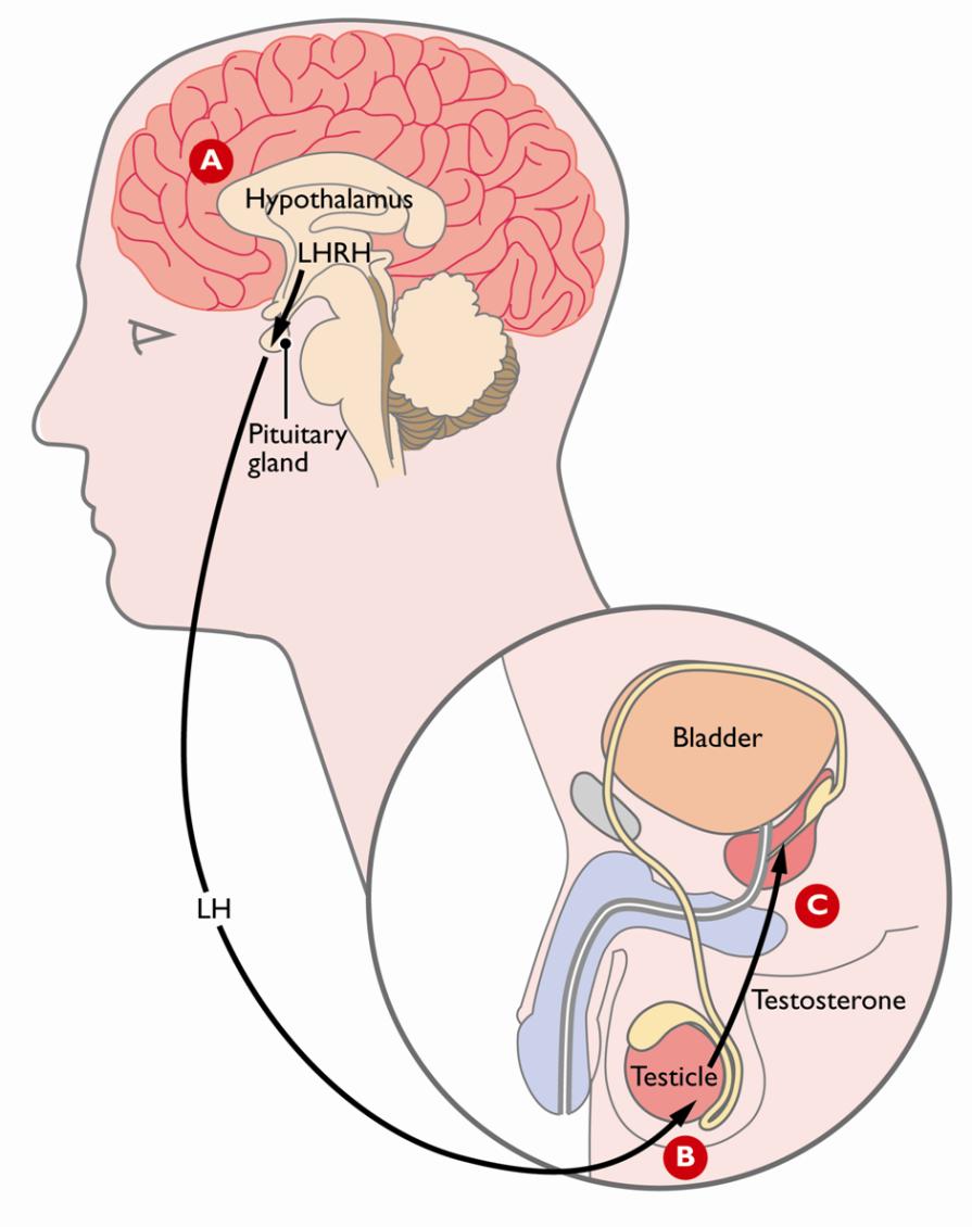 Zayıflamaya yardımcı hormonları düzenleme